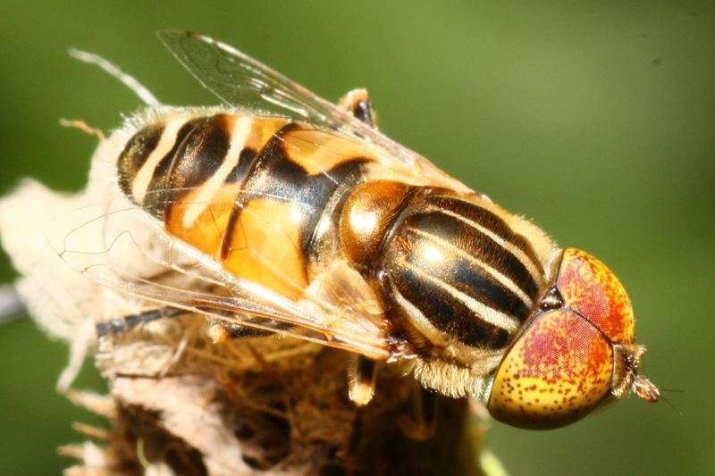 一种很像物种的蝇类,接近的蜜蜂也曾经拍过,请v物种鳄鱼尾去鳞图片